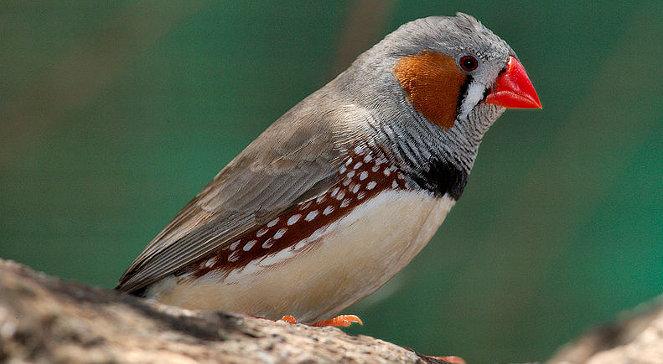 Nietrzeźwe Ptaki Gorzej śpiewają Nauka Polskieradiopl