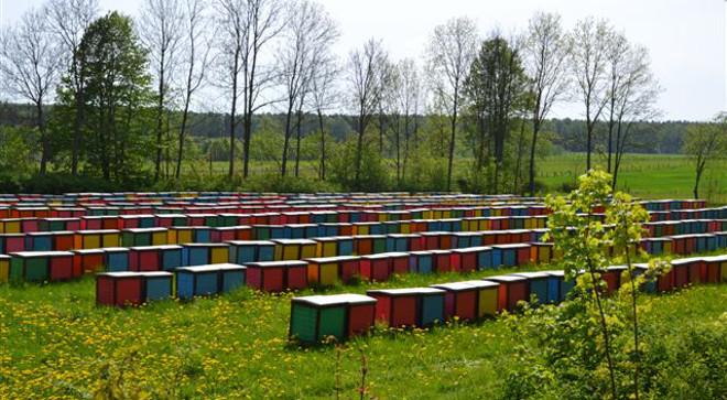 W  pasiece Piotra i Janusza Tkaczuków  jest około  3 tysięcy uli