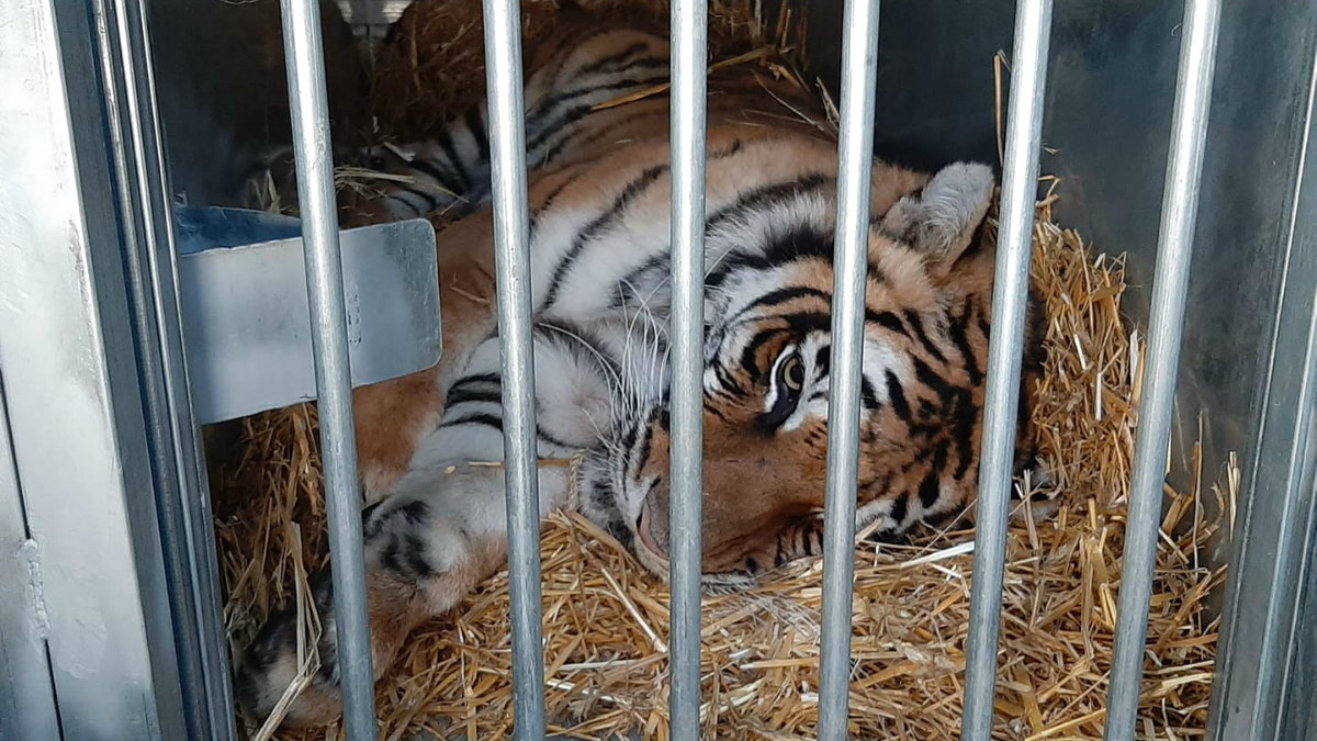 tygrys 1200 .jpg