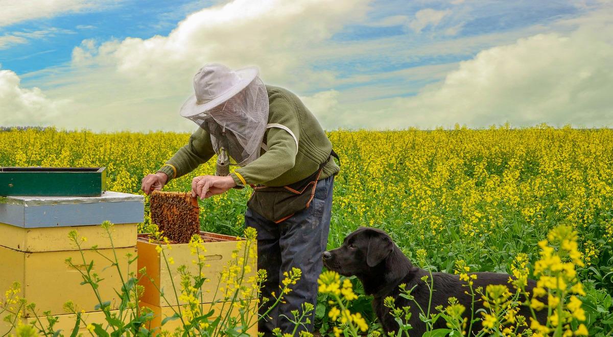 rzepak pszczoły1200.jpg
