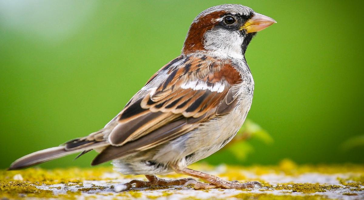 Gustowne wróble. Jak humanista patrzy na ptaki - Dwójka ...