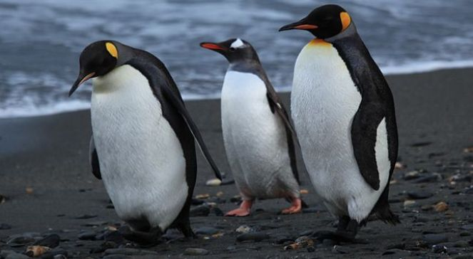 Zamach W Nowej Zelandii Film Wikipedia: Długa Podróż Pingwina Do Nowej Zelandii