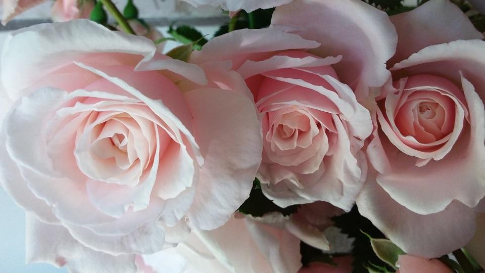 Rose Queen of Warsaw
