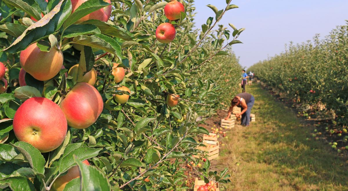 sad plantacja jabłka shutterstock 1200.jpg