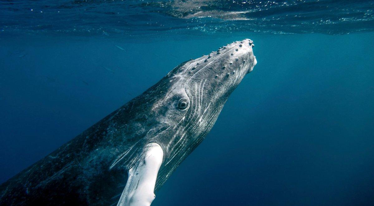 f41d3a606bfdef Mikołaj Golachowski opowiadał, że wieloryby potrafią porozumiewać się na  odległość wielu tysięcy kilometrów i dożywać