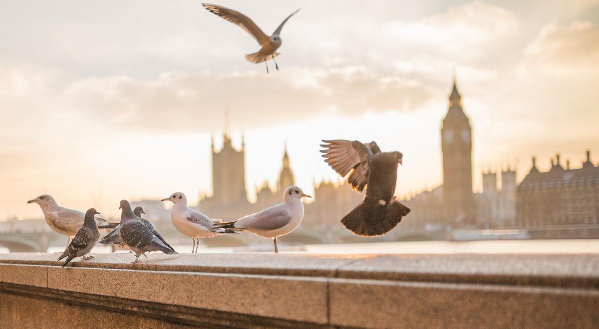 ptaki  mewy gołębie miasto 1200.jpg