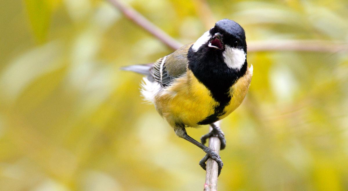 shutterstock sikorka bogatka ptak 1200.jpg