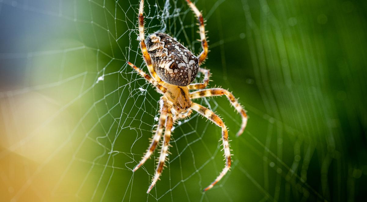 shutterstock pająk krzyżak 1200.jpg