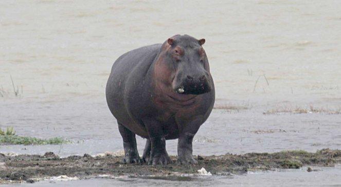 Hipopotam Miał Dość Cyrku I Ruszył W Miasto Wiadomości